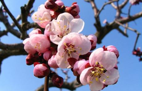 blossom-76422_640